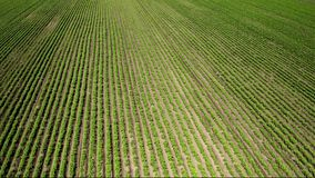 An aerial shot of soybean field ripening at spring season, agricultural landscape