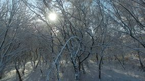 Aerial shot: sun rays shine into camera through trees covered with snow. Drone moves down stock video