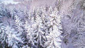 Aerial shot of the tall pine tree in snow. The tree in the forest is covered with snow on a winter stock video footage