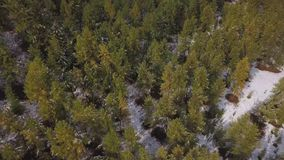 AERIAL: Snowing in nature. Pine trees stand in the snow. Winter in the forest stock video
