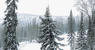 Aerial: Winter forest. Winter in mountains. Aerial: Snowy forest Winter in mountains stock video footage