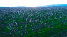 Aerial sunrise view of a blossoming of fruit trees in a field. Peach and apple trees.  stock video footage