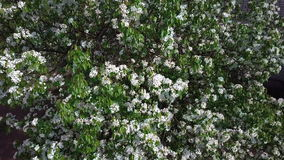 Aerial survey of blossoming crab tree. Top view stock footage