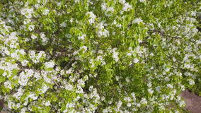 Aerial survey of blossoming crab tree. Top view stock video