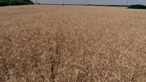 Aerial survey of a wheat field, flight over yellow ears. Aerial survey of a wheat field flying over yellow ears on a blue sky background stock video