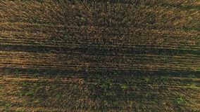 Aerial survey of wheaten golden field at sunset stock video footage