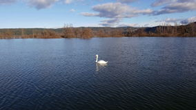 AERIAL: Swan swimming on a lake stock video footage