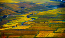 Aerial tilt-shift view of geometrical fields of grape Royalty Free Stock Images