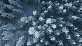 Aerial top down snow mountain conifer forest. Nobody nature landscape. Hoarfrost spruce trees