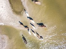 Aerial top view of bunch of cow herd walk in countryside near the lake on sandy beach f stock photography