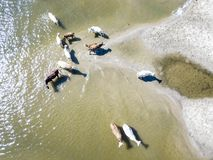 Aerial top view of bunch of cow herd walk in countryside near the lake on sandy beach f stock images