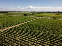 Aerial top view from drone to vineyard. With grape. Shot in Ukraine royalty free stock image
