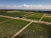 Aerial top view from drone to vineyard. With grape. Shot in Ukraine stock image
