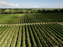 Aerial top view from drone to vineyard. With grape at summer time stock images