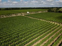 Aerial top view from drone to vineyard. With grape at summer time stock photo