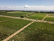 Aerial top view from drone to vineyard. With grape at summer time royalty free stock images