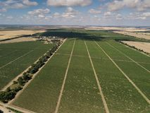 Aerial top view from drone to vineyard. With grape. Shot in Ukraine stock photo