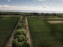 Aerial top view from drone to vineyard. With grape. Shot in Ukraine, Odessa region royalty free stock photos