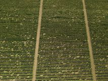 Aerial top view from drone to vineyard. With grape at summer time stock image