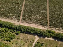 Aerial top view from drone to vineyard. With grape at summer time royalty free stock photos