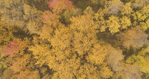 Aerial top view over yellow golden birch forest in autumn royalty free stock photography