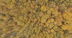 Aerial top view over yellow golden birch forest in autumn stock photos