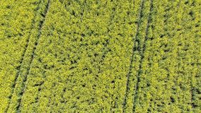 Aerial Top view of Yellow Canola Field. Harvest Blooms Yellow Flowers Canola Oilseed. Rural field planted with many strips of bright yellow rape. Blossoming stock footage