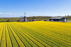 Aerial from a traditional ancient windmill with tulip fields in Stock Image