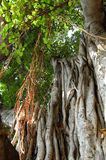 Aerial tree roots stock photo
