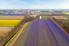 Aerial from tulip fields in the countryside from Netherlands Stock Photography