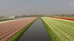 Aerial from tulip fields in Netherlands. Aerial from tulip fields in the Netherlands stock footage