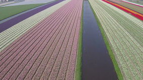 Aerial from tulip fields in Netherlands stock footage