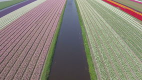 Aerial from tulip fields in Netherlands stock video