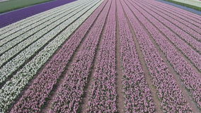 Aerial from tulip fields in Netherlands stock video footage