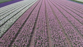 Aerial from tulip fields in Netherlands. Aerial from tulip fields in the Netherlands stock video