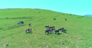 Flight over wild horses herd on mountain meadow. Summer mountains wild nature. Freedom ecology concept. Aerial UHD 4K flight over wild staying horses herd on stock video