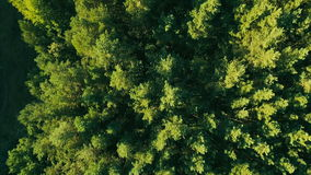 Aerial Vertical View of Tree Tops Green Forest. Bird's-Eye View of Tree tops Green Pine Forest at High Speed on Sunset stock footage