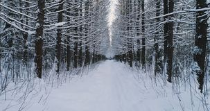 Aerial video beautiful forest landscape in winter, alley of snowing trees. Camera moving quick. Aerial view of beautiful forest landscape in winter, alley of stock footage