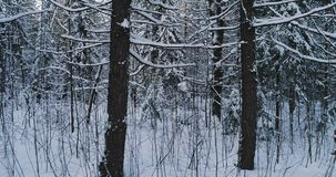 Aerial video beautiful forest landscape in winter evening. Camera moving in left. Aerial video beautiful forest landscape in winter evening. Camera moving in stock footage