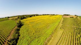 Aerial video a beautiful sunflower field in the France stock footage