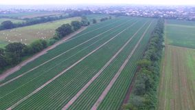 Aerial video of cucumber plants stock video