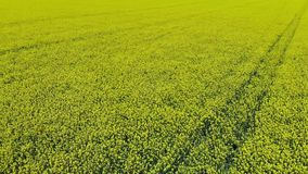 Aerial video of drone flying across field of oilseed stock footage