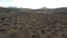 Aerial video footage of the La Geria vineyard on black volcanic soil in Lanzarote, Canary Islands stock video