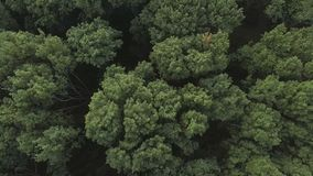Aerial video of a forest wave in the wind. Aerial video of a green forest at sunny day - the trees blow in the wind. Drone moving at high altitude. Aerial stock stock video footage