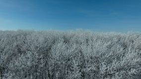 Flying above the forest in winter. Aerial video of a winter forest at sunny day. Drone moving left at low altitude. 4K Aerial stock footage shot at winter season stock video footage