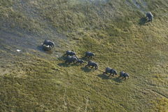 Aerial view of African Elephant herd Stock Images