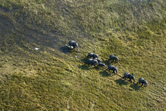 Aerial view of African Elephant herd Royalty Free Stock Image