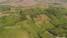 Agricultural land in indonesia. Aerial view agricultural farmland with sown green,corn, tobacco field in countryside. agricultural crops in rural area Java stock video