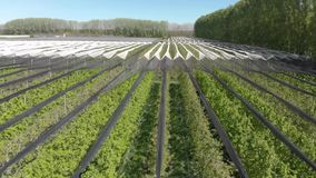 Aerial view of agricultural production. Rows of apple or pear trees on a farm in a valley