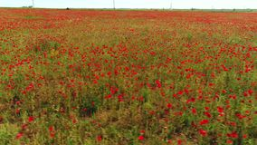 Aerial view of amazing poppy field near the country road against blue cloudy sky in warm summer day. Shot. Beautiful stock footage